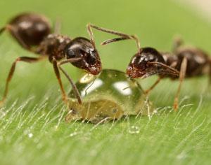 Почему возникает аллергическая реакция на укус муравья