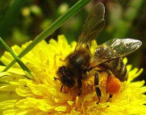 Последствия аллергии на пчел