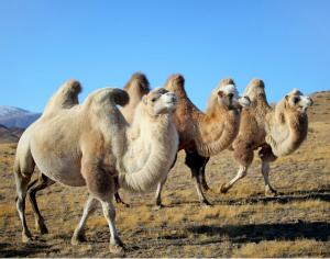 Аллергия на верблюжью шерсть